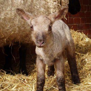 Cosa significa sognare un agnello