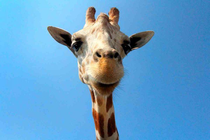 Favola la giraffa vanitosa