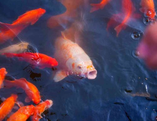 Cosa significa sognare pesci