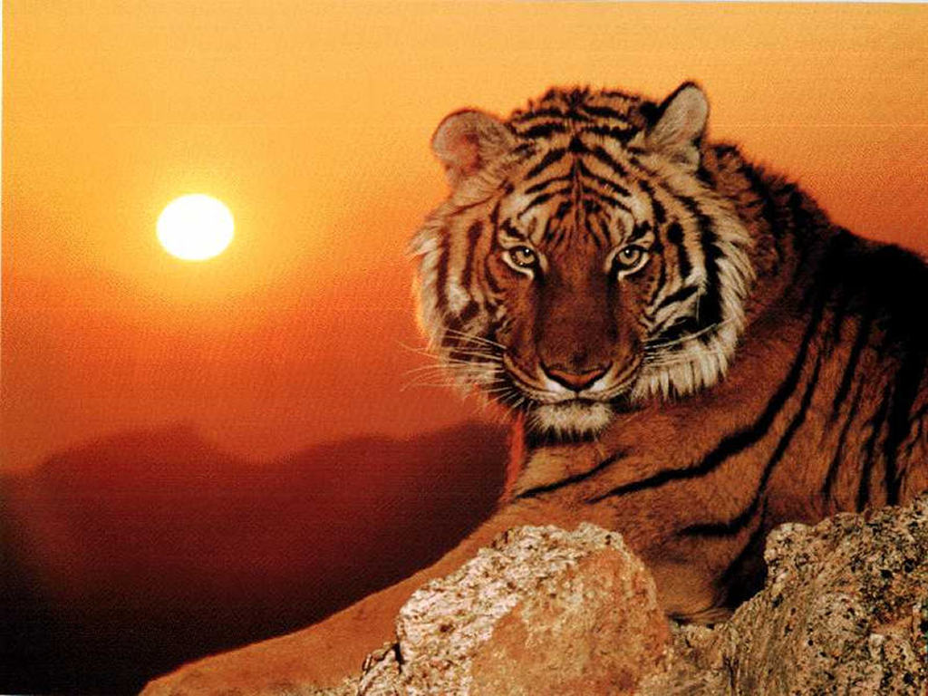 What does it mean to dream a tiger