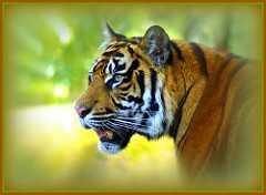 Sogno tigre