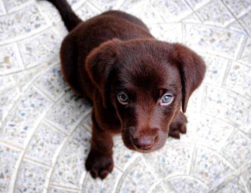 Sognare cucciolo di cane