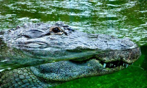 Cosa significa sognare un coccodrillo