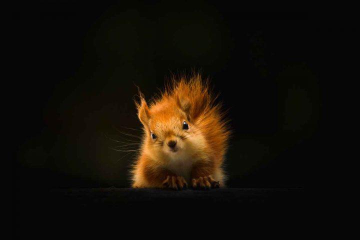 Sognare scoiattolo in casa
